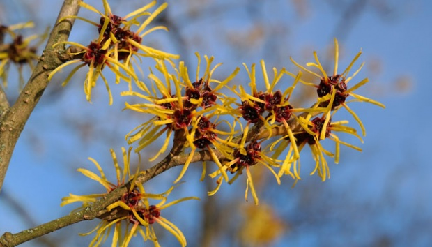 Witch hazel. Pixabay.com